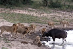 Загнанный в угол буйвол одурачил прайд львов простым приемом — видео