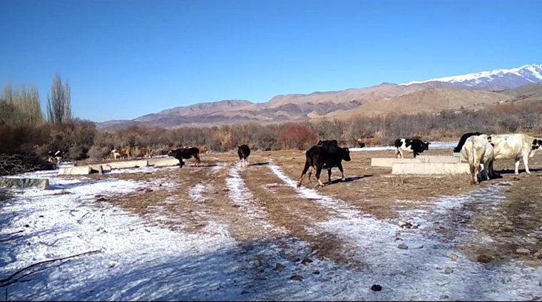 Коровы в селе Кенеш в Таласском районе