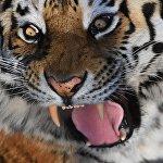 Тимур деген теке менен достошуп таанымал болгон Амур жолборсу Краснодар крайындагы зоопаркка өткөрүлдү