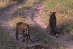 Леопард не услышал и не увидел атакующего соплеменника — видео