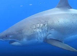 Это пугает! Громадная акула плывет рядом с дайвером — видео