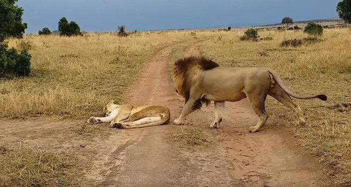 Как у людей — лев грубо разбудил самку и едва не поплатился за это. Видео