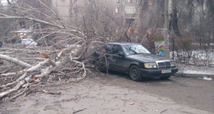 Большой тополь на дорогу на пересечении улиц Чокморова и Тимирязева в Бишкеке