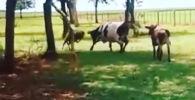 В комментариях шокированные пользователи соцсетей отметили, что лоб барана крепче, чем у коровы.