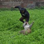 Леопард забрел в жилой район в индийском Джаландхаре и ранил по меньшей мере четырех человек, прежде чем его удалось поймать