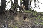 Леопард собирался съесть барсучонка, но мать отбила его. Видео