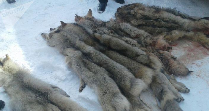 Егерь в Ак-Суйском районе убил 6 волков, ранее нападавших на скот местных жителей