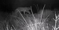 В Сети появилось видео, смонтированное из кадров одной фотоловушки в Сарычат-Эрташском заповеднике Иссык-Кульской области.