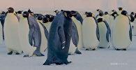 Альбинос наоборот — в Антарктиде нашли черного пингвина. Видео