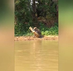 Тихо подкрался сзади — охота ягуара на каймана попала на видео
