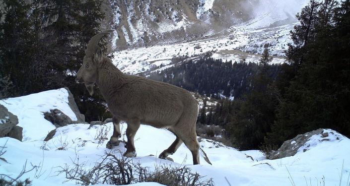 """Горный козел на территории природного парка """"Алатай"""""""