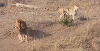 Посетители национального парка Крюгера в ЮАР стали свидетелями драматической сцены, в котором лев испортил охоту львицы.