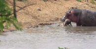 Посетители Национального парка Крюгера в ЮАР стали свидетелями редкого зрелища — попытки бегемота спасти детеныша антилопы от стаи гиеновидных собак.