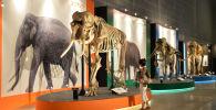Склетт мамонта в музее. Архивное фото
