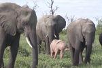 Слоненок редкой окраски был обнаружен в заповеднике Мала-Мала в Национальном парке Крюгера (ЮАР). Его заметил сафари-гид Тим Янсен ван Вюрен.