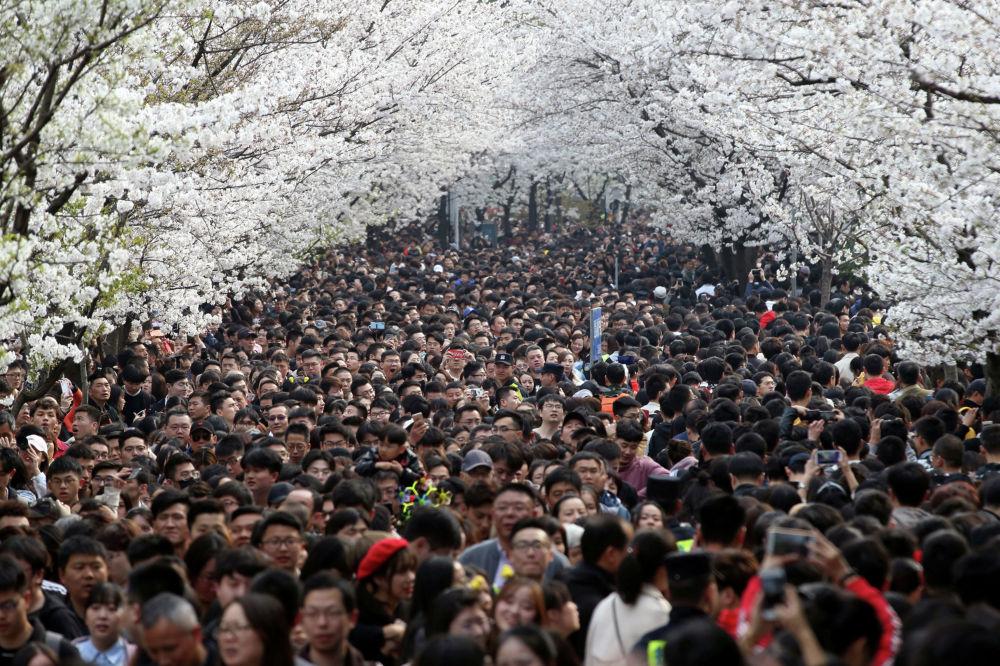 Цзянсу провинциясындагы Дзимин чиркөөсүнүн жанындагы гүлдөгөн алчалардын аллеясына келген адамдар
