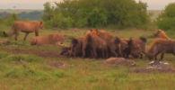 Туристы в Национальном парке Крюгера (ЮАР) стали свидетелями схватки между львиным прайдом и стаей гиен. Хищники не поделили добычу.