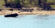Посетители Национального парка Крюгера в ЮАР стали свидетелями удивительного спасения буйвола от львов и крокодила.