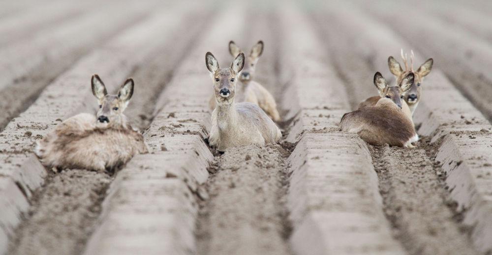 Косули на поле возле Альгермиссена в Германии.