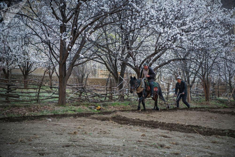 Өрүк бактар аба ырайына жараша март айынын орто ченинде же апрель айында гүлдөй баштайт