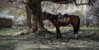 Лошадь привязанный к абрикосу в Баткенской области. Архивное фото