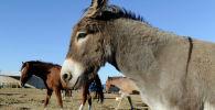 Пенни, справа, спасенный ослик с лошадьми  на ранчо Рэйчел Уоллер в Альпайне, штат Техас. 13 октября 2011 года