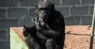 Шимпанзе. Архивдик сүрөт