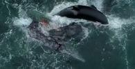 В заливе Монтерей в штате Калифорния (США) квадрокоптер запечатлел, как пятеро косаток устроили охоту на серого кита с детенышем.