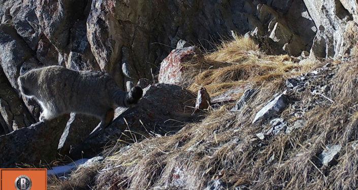 Манул попал на фотоловушку в Государственном природном парке Хан-Тенири