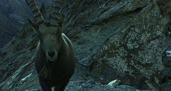 Козерог попал на фотоловушку в Государственном природном парке Хан-Тенири