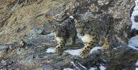Снежные барсы попали на фотоловушку в Государственном природном парке Хан-Тенири