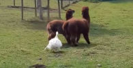 В Англии очевидец снял на видео, как гусь разнял двух дерущихся лам.
