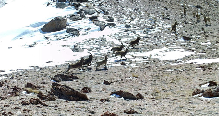 Козероги на фотоловушке, установленный на территории государственного природного парка Кара-Буура в Таласской области
