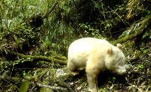 Редкая белоснежная гигантская панда в Национальном природном заповеднике Волонг в уезде Вэньчуань. Архивное фото