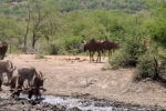 Посетителям национального парка Хлухлуве-Умфолози в Южно-Африканской Республике довелось увидеть захватывающую охоту леопарда на антилопу.
