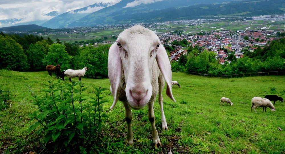 Овцы пасутся на лугу. Архивное фото