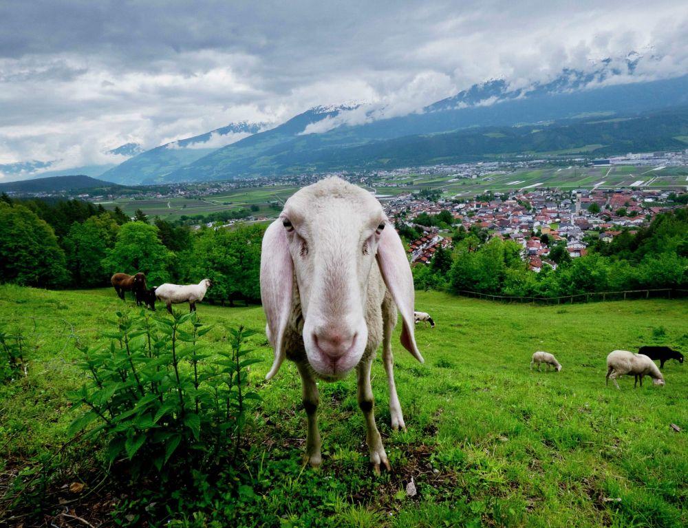 Овцы пасутся на лугу в Инсбруке (Австрия)