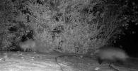 В Сети появилось видео забавной погони барсука за лисицей.