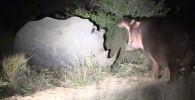 Посетители природного заповедника Mala Mala Reserve в Южной Африке стали свидетелями необычной сцены, произошедшей с участием любопытного бегемота и носорогов.