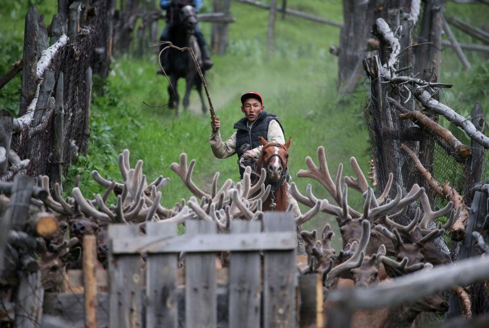 Заводчик гонит оленей из хозяйства Алатау Маралы в ущелье Касымбек в Казахстане