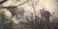 Посетители национального заповедника Крюгера в ЮАР стали свидетелями противостояния львов и львиц.