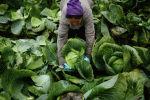 Рабочие собирают урожай капусты. Архивное фото
