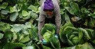 Фермер собирает урожай капусты. Архивное фото