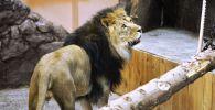 Африканский лев в зоопарке. Архивное фото