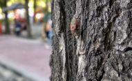Вязовый клоп (Arocatus melanocephalus) на дереве в Бишкеке