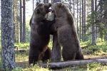 В лесах Финляндии фотограф дикой природы Теро Пылькканен стал свидетелем ожесточенной схватки двух медведей. Видео он опубликовал на своем Youtube-канале.