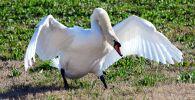 Лебедь. Архивное фото