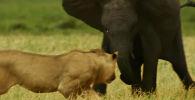 В Национальном парке Серенгети на севере Танзании съемочная группа BBC сняла на видео неравное противостояние между молодым слоном и львиным прайдом.