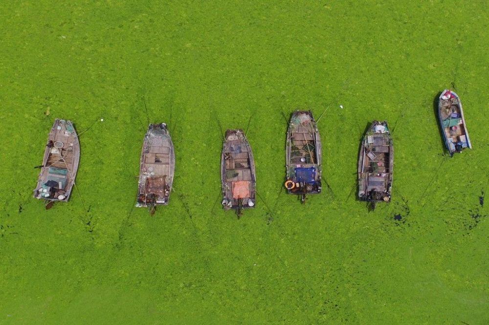 Шаньдун провинциясында эл деңиз өсүмдүгү өскөн сууда сүзүп жүрөт