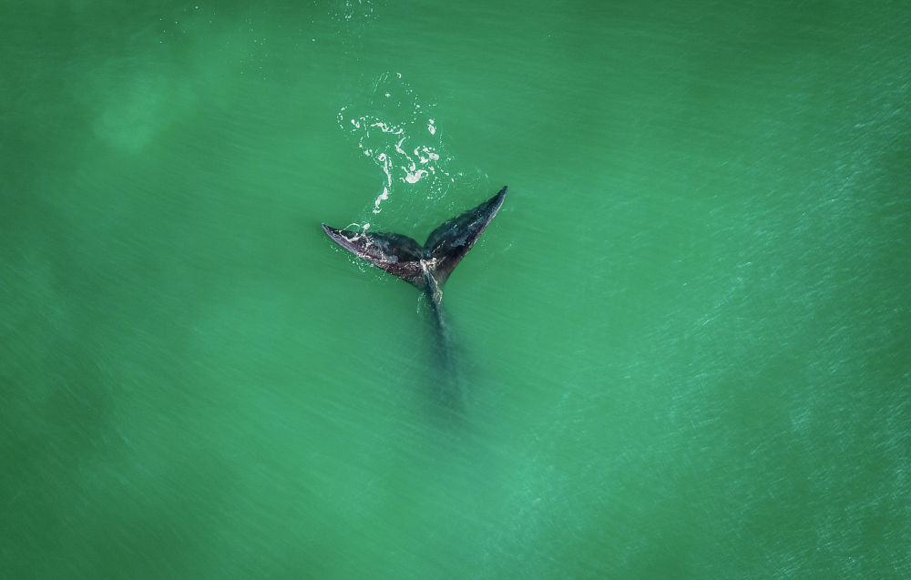 Түштүк ийкемчил кити Рибанкейра жээгинде. Бразилия Санта-Катарина штаты